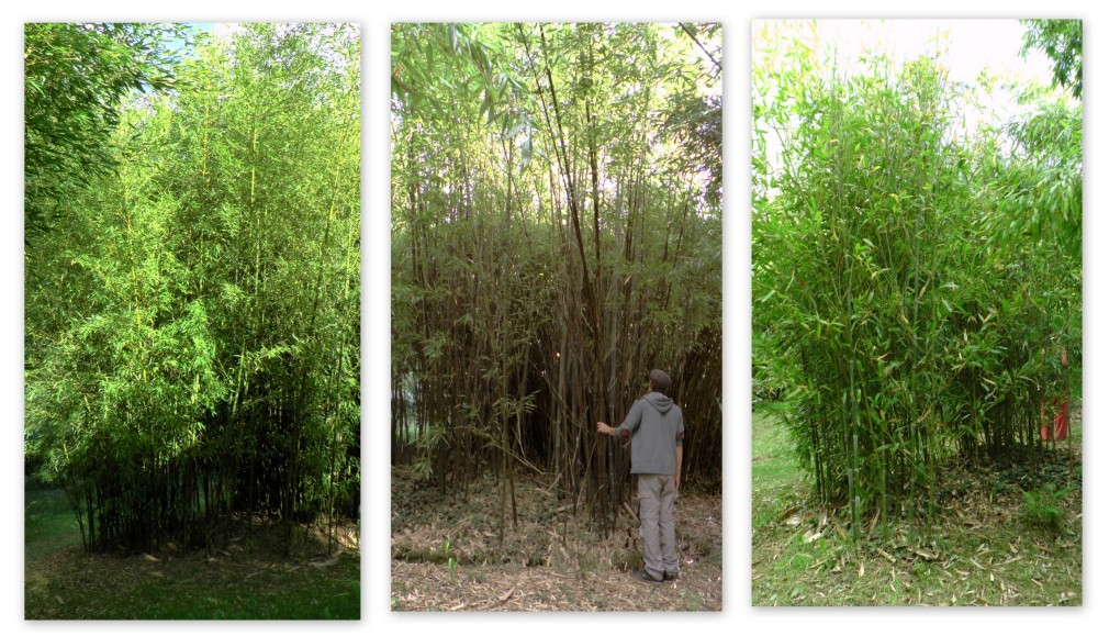bambousaie2
