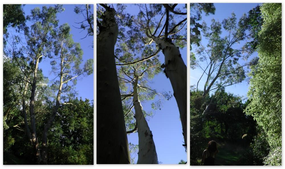 Les arbres du monde océanie3